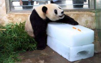hot panda